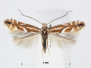 (Phyllonorycter AriaKorea - RMNH.5007979)  @14 [ ] CreativeCommons - Attribution Non-Commercial Share-Alike (2015) Unspecified Naturalis Biodiversity Centre