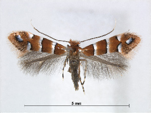 (Phyllonorycter stephanandrae - RMNH.5007981)  @14 [ ] CreativeCommons - Attribution Non-Commercial Share-Alike (2015) Unspecified Naturalis Biodiversity Centre