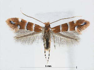 (Phyllonorycter stephanandrae - RMNH.5007982)  @14 [ ] CreativeCommons - Attribution Non-Commercial Share-Alike (2015) Unspecified Naturalis Biodiversity Centre