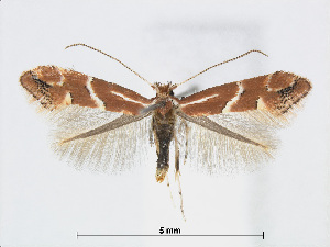 (Phyllonorycter celtidis - RMNH.5007984)  @14 [ ] CreativeCommons - Attribution Non-Commercial Share-Alike (2015) Unspecified Naturalis Biodiversity Centre