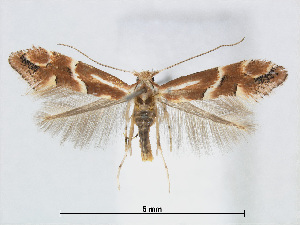(Phyllonorycter celtidis - RMNH.5007985)  @14 [ ] CreativeCommons - Attribution Non-Commercial Share-Alike (2015) Unspecified Naturalis Biodiversity Centre