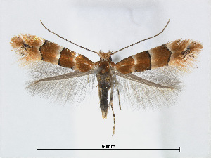 (Phyllonorycter zelkovae - RMNH.5007986)  @14 [ ] CreativeCommons - Attribution Non-Commercial Share-Alike (2015) Unspecified Naturalis Biodiversity Centre