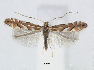 (Phyllonorycter cretata - RMNH.5007988)  @14 [ ] CreativeCommons - Attribution Non-Commercial Share-Alike (2015) Unspecified Naturalis Biodiversity Centre