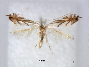 (Phyllonorycter leucocorona - RMNH.5007990)  @14 [ ] CreativeCommons - Attribution Non-Commercial Share-Alike (2015) Unspecified Naturalis Biodiversity Centre