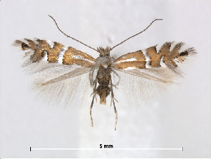(Phyllonorycter anderidae - RMNH.5013725)  @15 [ ] CreativeCommons - Attribution Non-Commercial Share-Alike (2015) Unspecified Naturalis Biodiversity Centre