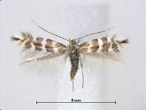 (Phyllonorycter rolandi - RMNH.5013729)  @14 [ ] CreativeCommons - Attribution Non-Commercial Share-Alike (2015) Unspecified Naturalis Biodiversity Centre