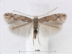 (Phyllonorycter pastorella - RMNH.5013732)  @14 [ ] CreativeCommons - Attribution Non-Commercial Share-Alike (2015) Unspecified Naturalis Biodiversity Centre