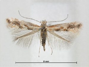 (Phyllonorycter cytisifoliae - RMNH.5013744)  @14 [ ] CreativeCommons Attribution Non-Commercial Share-Alike (2016) Unspecified Naturalis Biodiversity Center
