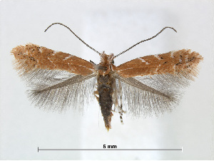(Cremastobombycia lantanella - RMNH.5013754)  @11 [ ] CreativeCommons - Attribution Non-Commercial Share-Alike (2016) Unspecified Naturalis Biodiversity Center