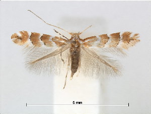 (Phyllonorycter stephanota - RMNH.5013757)  @15 [ ] CreativeCommons - Attribution Non-Commercial Share-Alike (2016) Unspecified Naturalis Biodiversity Center