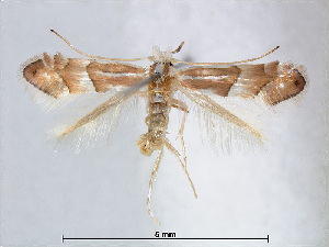 (Phyllonorycter nipponicella - RMNH.INS.544244)  @14 [ ] CreativeCommons - Attribution Non-Commercial Share-Alike (2015) Unspecified Naturalis Biodiversity Centre