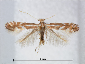 (Phyllonorycter rostrispinosa - RMNH.INS.544247)  @14 [ ] CreativeCommons - Attribution Non-Commercial Share-Alike (2015) Unspecified Naturalis Biodiversity Centre