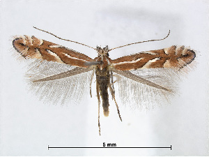(Phyllonorycter ringoniella - RMNH.INS.544257)  @15 [ ] CreativeCommons - Attribution Non-Commercial Share-Alike (2015) Unspecified Naturalis Biodiversity Centre