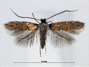 (Phyllonorycter melacoronis - RMNH.INS.544258)  @15 [ ] CreativeCommons - Attribution Non-Commercial Share-Alike (2015) Unspecified Naturalis Biodiversity Centre