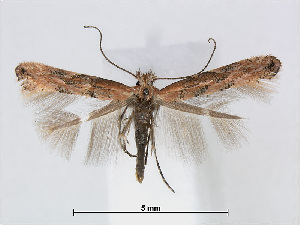 (Phyllonorycter PopulusChina - RMNH.INS.544262)  @14 [ ] CreativeCommons - Attribution Non-Commercial Share-Alike (2015) Unspecified Naturalis Biodiversity Centre