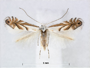 (Phyllonorycter nigristella - RMNH.INS.544264)  @14 [ ] CreativeCommons - Attribution Non-Commercial Share-Alike (2015) Unspecified Naturalis Biodiversity Centre