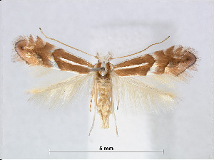 (Phyllonorycter acutissimae - RMNH.INS.544266)  @15 [ ] CreativeCommons - Attribution Non-Commercial Share-Alike (2015) Unspecified Naturalis Biodiversity Centre