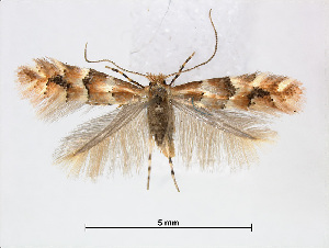 (Phyllonorycter emberizaepenella - RMNH.INS.544273)  @15 [ ] CreativeCommons - Attribution Non-Commercial Share-Alike (2015) Unspecified Naturalis Biodiversity Centre