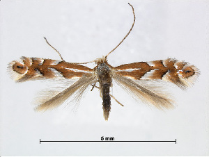 (Phyllonorycter intermixta - RMNH.INS.544275)  @15 [ ] CreativeCommons - Attribution Non-Commercial Share-Alike (2015) Unspecified Naturalis Biodiversity Centre