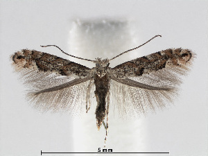 (Phyllonorycter salicifoliella - RMNH.INS.552266)  @15 [ ] CreativeCommons - Attribution Non-Commercial Share-Alike (2012) Naturalis, Biodiversity Centre Naturalis, Biodiversity Centre