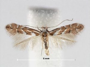 (Phyllonorycter argentinotella - RMNH.INS.552267)  @15 [ ] CreativeCommons - Attribution Non-Commercial Share-Alike (2012) Naturalis, Biodiversity Centre Naturalis, Biodiversity Centre