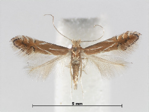 (Phyllonorycter basistrigella - RMNH.INS.552270)  @14 [ ] CreativeCommons - Attribution Non-Commercial Share-Alike (2012) Naturalis, Biodiversity Centre Naturalis, Biodiversity Centre