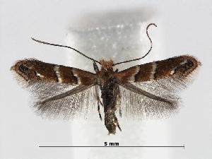 (Cameraria guttifinitella - RMNH.INS.552280)  @14 [ ] CreativeCommons - Attribution Non-Commercial Share-Alike (2012) Naturalis, Biodiversity Centre Naturalis, Biodiversity Centre