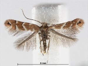 (Cameraria betulivora - RMNH.INS.552283)  @14 [ ] CreativeCommons - Attribution Non-Commercial Share-Alike (2012) Naturalis, Biodiversity Centre Naturalis, Biodiversity Centre