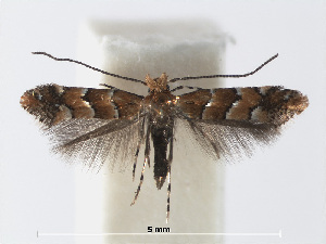 (Phyllonorycter Rubus Vietnam - RMNH.INS.552297)  @14 [ ] CreativeCommons - Attribution Non-Commercial Share-Alike (2012) Naturalis, Biodiversity Centre Naturalis, Biodiversity Centre