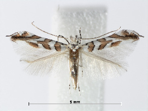 (Phyllonorycter kuhlweiniella - RMNH.INS.554162)  @15 [ ] CreativeCommons - Attribution Non-Commercial Share-Alike (2012) Naturalis, Biodiversity Centre Naturalis, Biodiversity Centre