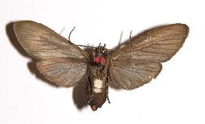 (Episcepsis hypoleuca - 79-SRNP-334)  @14 [ ] CreativeCommons - Attribution Non-Commercial Share-Alike (2004) Daniel H. Janzen Guanacaste Dry Forest Conservation Fund