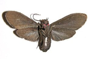 (Episcepsis sp. voucher - 92-SRNP-6042)  @14 [ ] CreativeCommons - Attribution Non-Commercial Share-Alike (2004) Daniel H. Janzen Guanacaste Dry Forest Conservation Fund