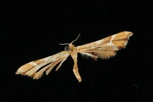 (Cnaemidophorus rhododactyla - 04HBL006748)  @14 [ ] CC-0 (2010) CBG Photography Group Centre for Biodiversity Genomics