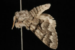 ( - Moth4462.03)  @13 [ ] CreativeCommons - Attribution Non-Commercial Share-Alike (2010) CBG Photography Group Centre for Biodiversity Genomics
