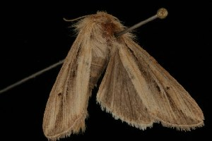 ( - Moth4478.03)  @13 [ ] CC-0 (2010) CBG Photography Group Centre for Biodiversity Genomics