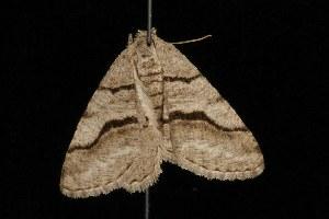 ( - Moth4514.03)  @13 [ ] CC-0 (2010) CBG Photography Group Centre for Biodiversity Genomics