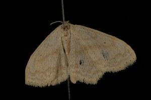 ( - Moth4554.03)  @13 [ ] CC-0 (2010) CBG Photography Group Centre for Biodiversity Genomics