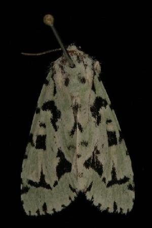 ( - Moth4561.03)  @13 [ ] CC-0 (2010) CBG Photography Group Centre for Biodiversity Genomics
