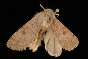 ( - Moth4007.03)  @14 [ ] CC-0 (2010) CBG Photography Group Centre for Biodiversity Genomics