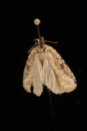 ( - Moth4019.03)  @13 [ ] CC-0 (2010) CBG Photography Group Centre for Biodiversity Genomics