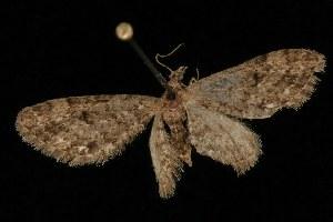 ( - Moth4147.03)  @13 [ ] CC-0 (2010) CBG Photography Group Centre for Biodiversity Genomics