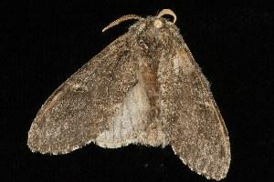 ( - Moth4172.03)  @13 [ ] CC-0 (2010) CBG Photography Group Centre for Biodiversity Genomics