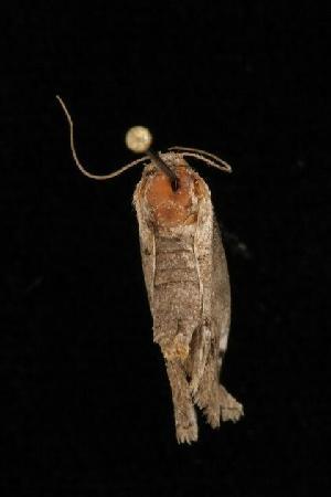 ( - Moth4288.03)  @13 [ ] CC-0 (2010) CBG Photography Group Centre for Biodiversity Genomics