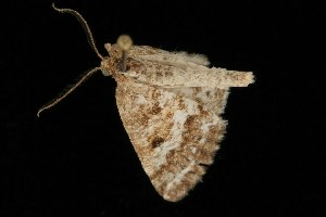( - Moth4292.03)  @13 [ ] CC-0 (2010) CBG Photography Group Centre for Biodiversity Genomics