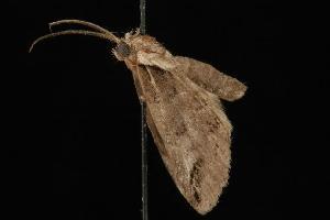 ( - Moth4325.03)  @13 [ ] CC-0 (2010) CBG Photography Group Centre for Biodiversity Genomics