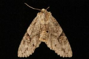 ( - Moth4345.03)  @14 [ ] CC-0 (2010) CBG Photography Group Centre for Biodiversity Genomics
