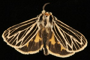 ( - Moth4346.03)  @13 [ ] CC-0 (2010) CBG Photography Group Centre for Biodiversity Genomics