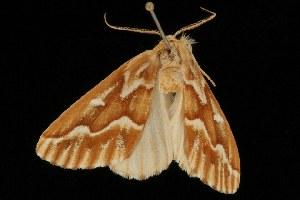 ( - Moth4355.03)  @13 [ ] CC-0 (2010) CBG Photography Group Centre for Biodiversity Genomics
