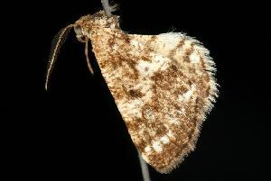 ( - Moth4271.03)  @13 [ ] CC-0 (2010) CBG Photography Group Centre for Biodiversity Genomics