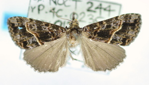 (Hypena poecila - USNM ENT 00737850)  @13 [ ] Unspecified (default): All Rights Reserved  Unspecified Unspecified